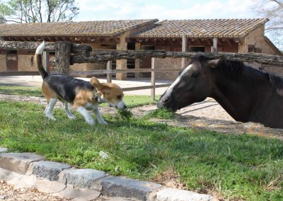 pony-club-emporda-beagle-lack