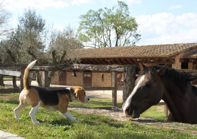 pony-club-emporda-beagle-lack2